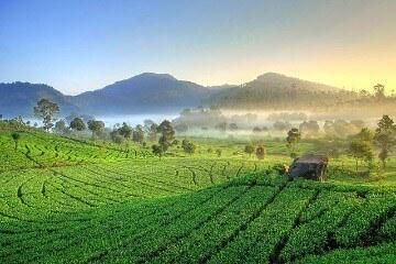 مزارع الشاي تشيبودي - Ciwidey